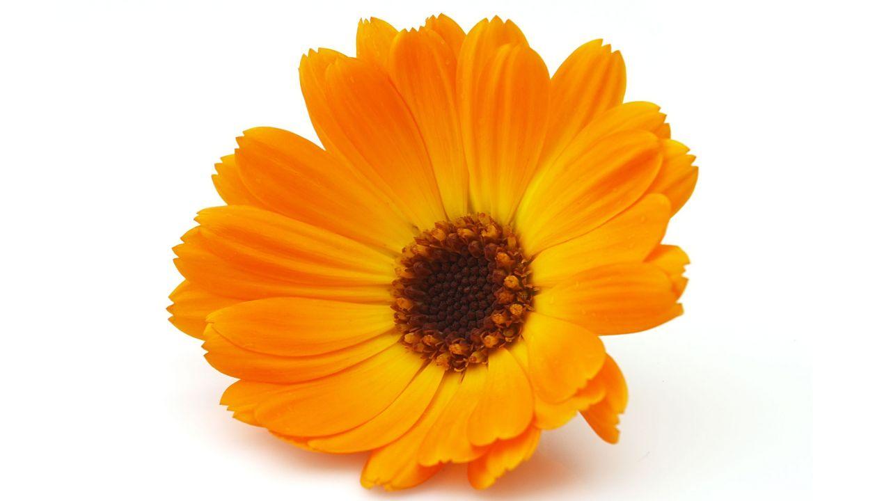 Caléndula, planta medicinal con grandes beneficios - Hogarmania