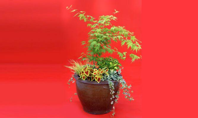 Composici n de arte floral con arce japon s decogarden - Arce japones cuidados ...