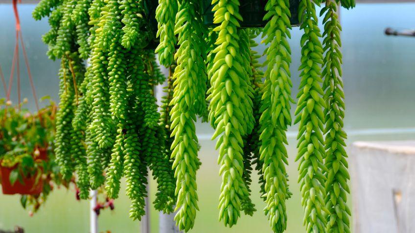 cortinas vegetales con plantas colgantes bricomana - Plantas Colgantes