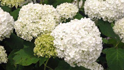 Variedades de hortensias decogarden - Como podar la hortensia ...