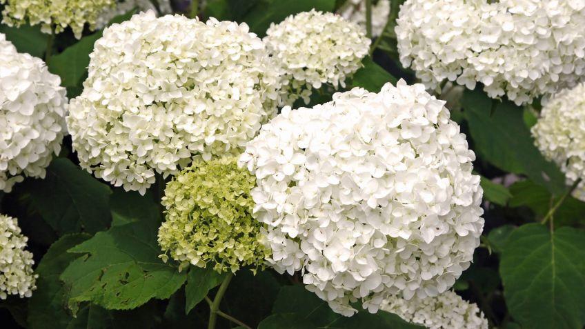 Cultivo de hortensias en contenedor - Bricomanía