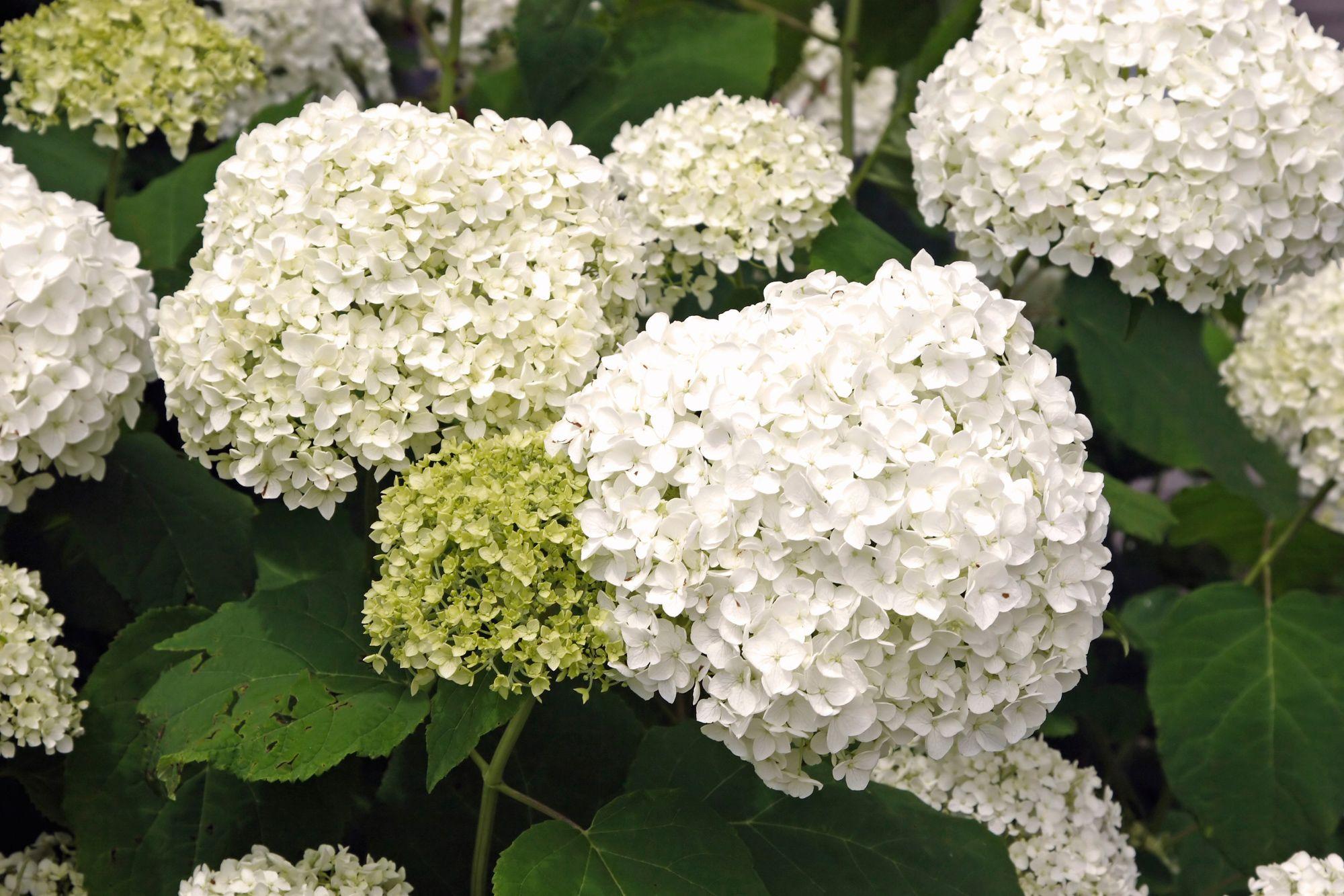 cultivo de hortensias en contenedor
