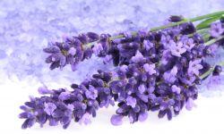 lavanda planta medicinal