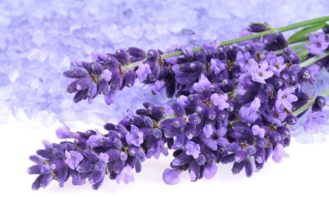 Lavanda, planta medicinal de propiedades calmantes  Hogarmania