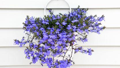 Plantas que cuelgan y trepan hogarmania - Cuidar hortensias exterior ...