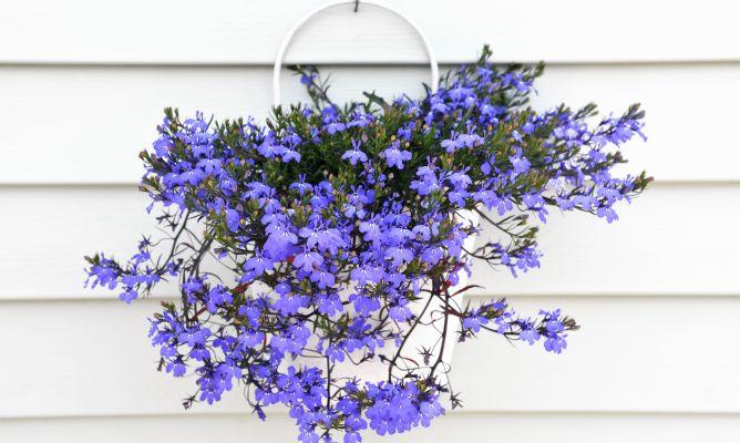 Plantas colgantes y abonos espec ficos bricoman a - Planta de exterior resistente ...
