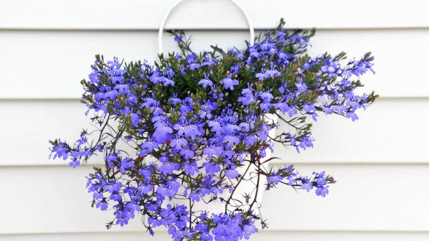 plantas colgantes y abonos especficos bricomana - Plantas Colgantes