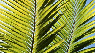 Cómo podar hojas de palmera