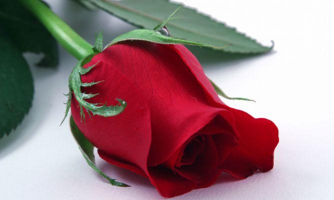 Rosa planta medicinal para la piel hogarmania for Pianta rosa