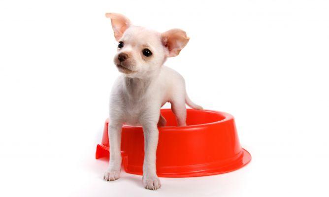 Alimentación Para Cachorros De Raza Pequeña Decogarden