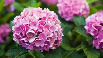 Cultivo de hortensias en contenedor bricoman a - Hortensias cuidados maceta ...