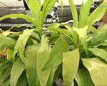 plantas invierno - drácena
