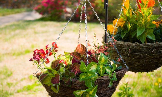 Plantas colgantes bricoman a - Plantas trepadoras de sol ...