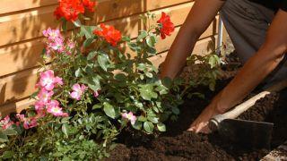 Plantar rosales arbustivos y cubresuelos