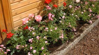 Rosales arbustivos y rastreros
