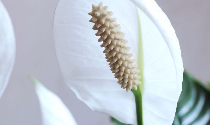 Espatifilo spathiphyllum cuidados plantas jardineria - Hogarmania jardineria ...