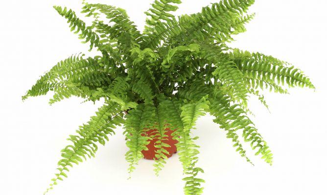 Cuidados de los helechos de interior y del ficus ginseng for Ficus interior cuidados