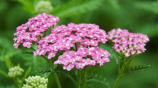 10 plantas medicinales para la salud de la mujer - Milenrama