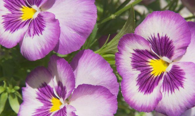 Pensamiento viola x wittrockiana plantas jardineria - Hogarutil plantas ...