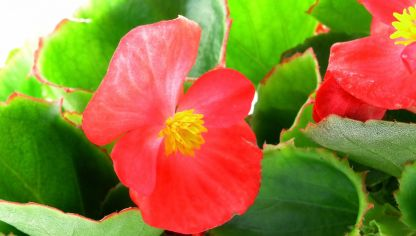 Begonia dragon wing o semperflorens