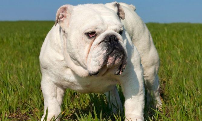 Bulldog Inglés Hogarmania