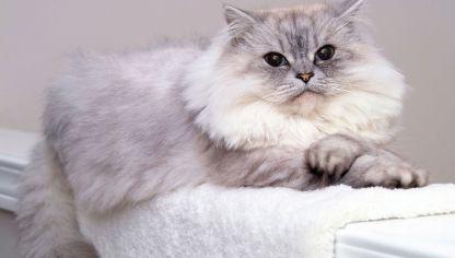 Cuidado De Gatos Persas En Casa Decogarden