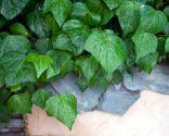 Cierre vegetal con hiedra