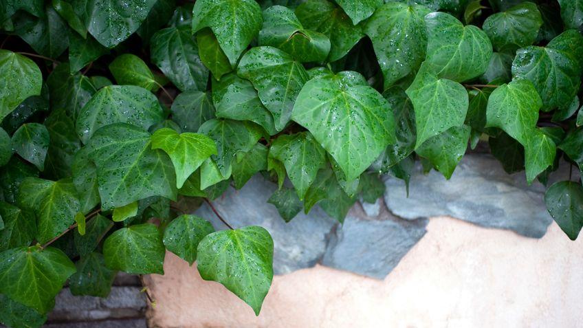 cierre vegetal con hiedra bricomana - Bricomania Jardineria