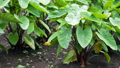 Cuidados de las plantas de hojas grandes hogarmania - Plantas interior grandes ...