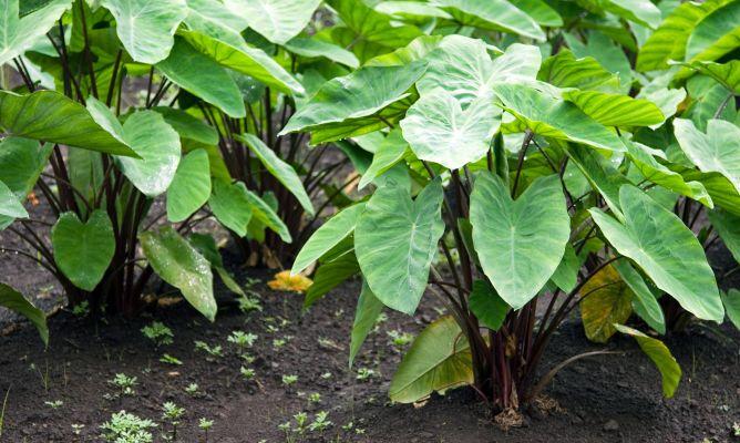Plantas de hojas grandes oreja de elefante bricoman a for Planta ornamental oreja de elefante