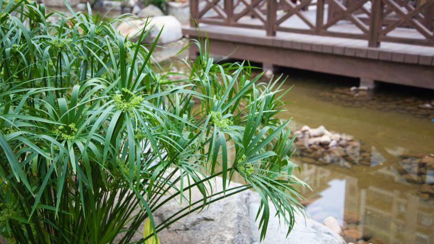 Planta del Papiro