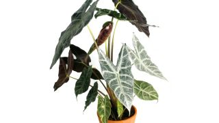 Alocasia amazónica