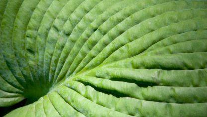Plantas de hojas grandes para exterior decogarden for Tipos de hojas ornamentales