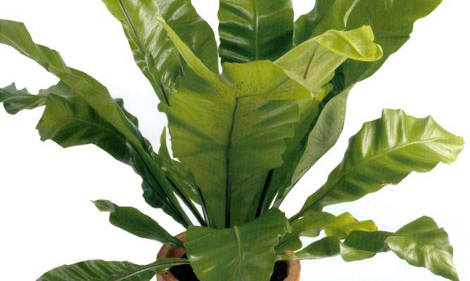 Helecho nido de ave hogarmania - Plantas de interior tropicales ...