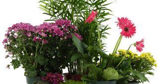 Anturio gigante o jungle king cuidados plantas jardiner a - Jacinto planta interior ...