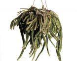 Echinocereus gentryi