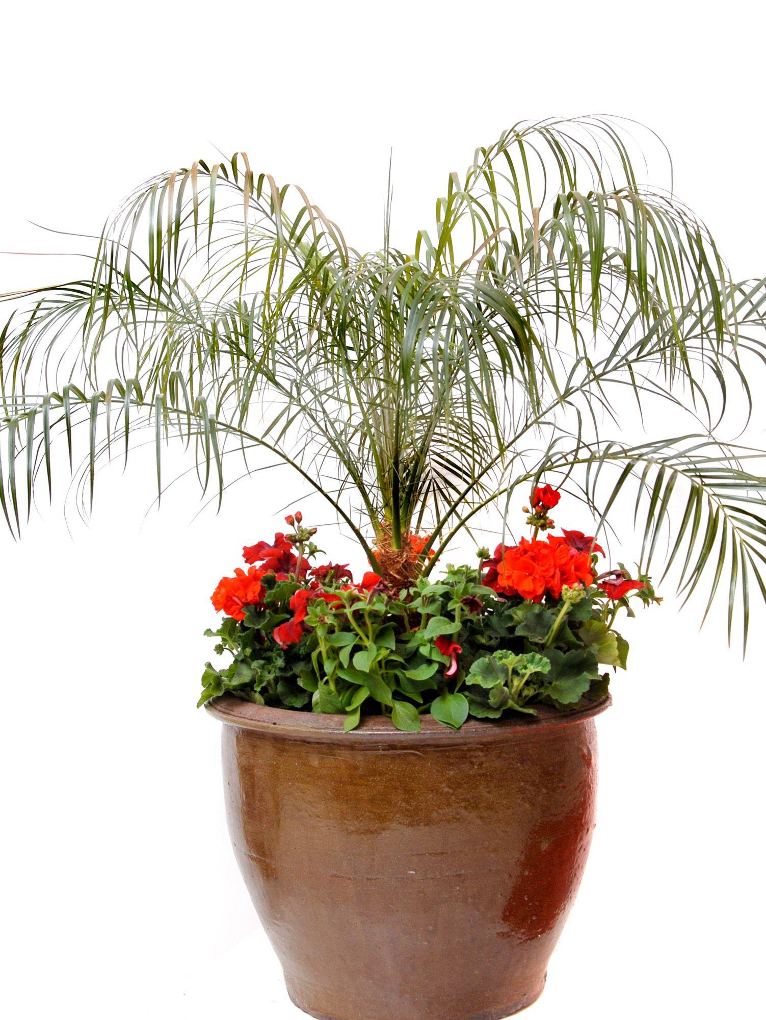 Detalle Composición con palmera de roebelen, geranios y petunias
