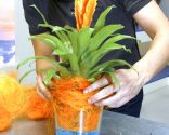 Plantar Bromelia en gel