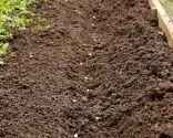 Cultivar habas, guisantes y ajos