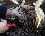 Sustituir plantas heladas
