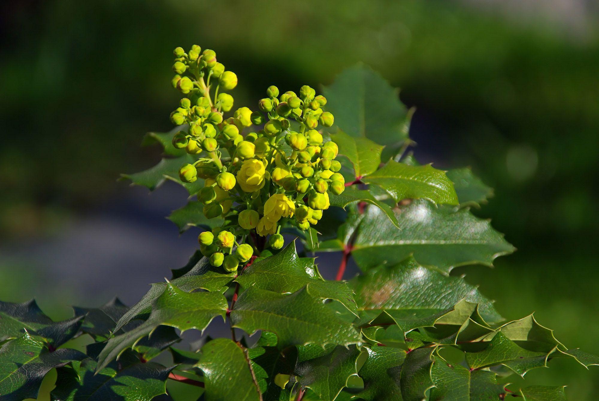 arbustos floración invierno - mahonia