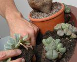 Composición floral con cactus piedra