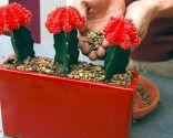 Composiciones con cactus injertados