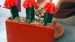 composiciones con cactus injertado