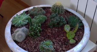Cactus rasta o aporocactus hogarmania - Composiciones de cactus ...