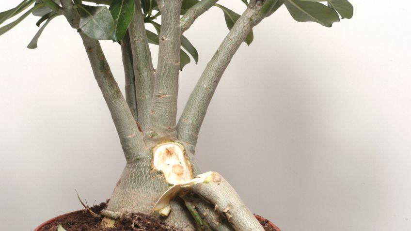 Acebo planta reproduccion asexual de las plantas