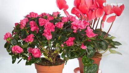 Ciclamen cuidados plantas jardiner a hogarmania - Cuidado de azaleas en interior ...