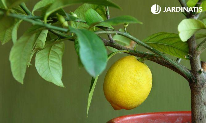 cómo plantar un limonero en maceta - decogarden