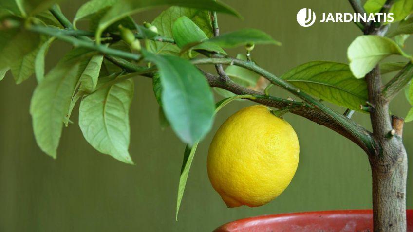 Resultado de imagen para limonero maceta