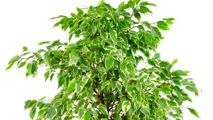 Cuidados del ficus benjamina hogarmania - Ficus elastica cuidados ...